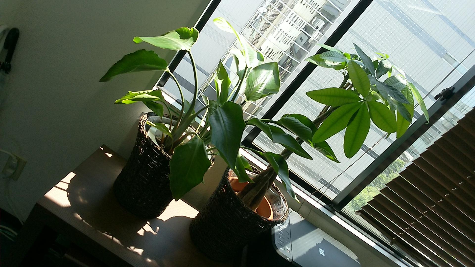 東大阪の事務所の観葉植物。日光浴中